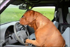Another Florida dog busted for DUI?